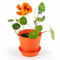 mini-serre-fleurs-capucines